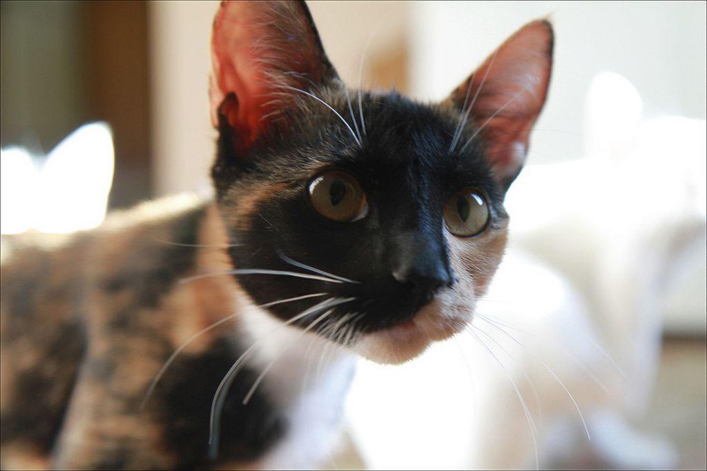 Правильное лечение аденомы или выпадения третьего века у котов и кошек