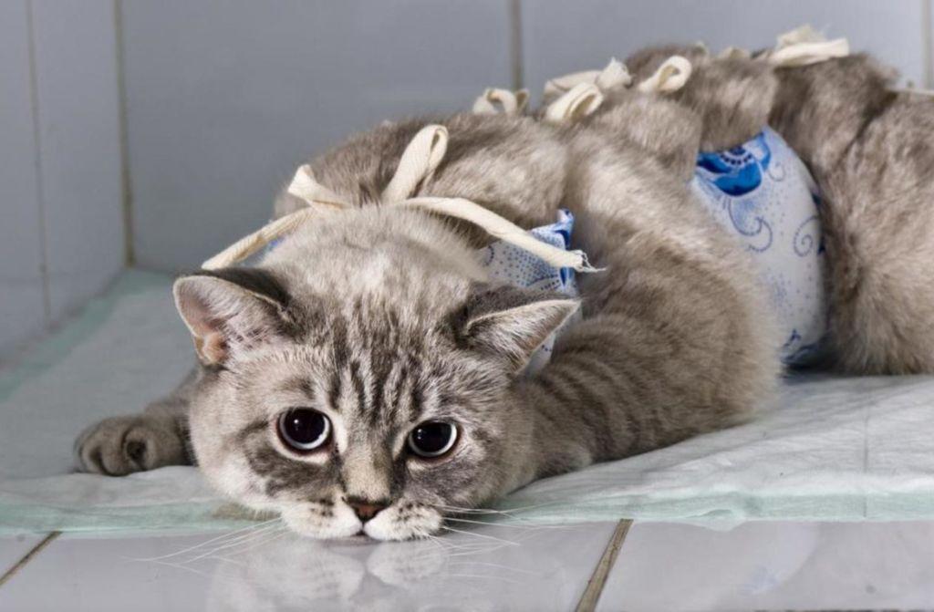 Можно ли стерилизовать кошку во время течки и беременности