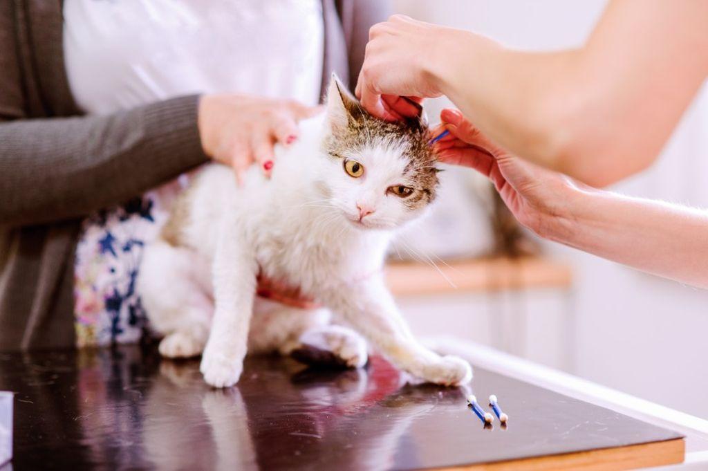 Правильная чистка ушей кошки