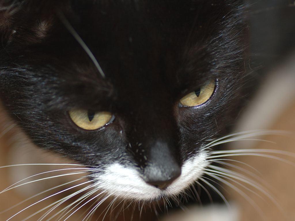 Кошки используют усы для измерения размеров предметов