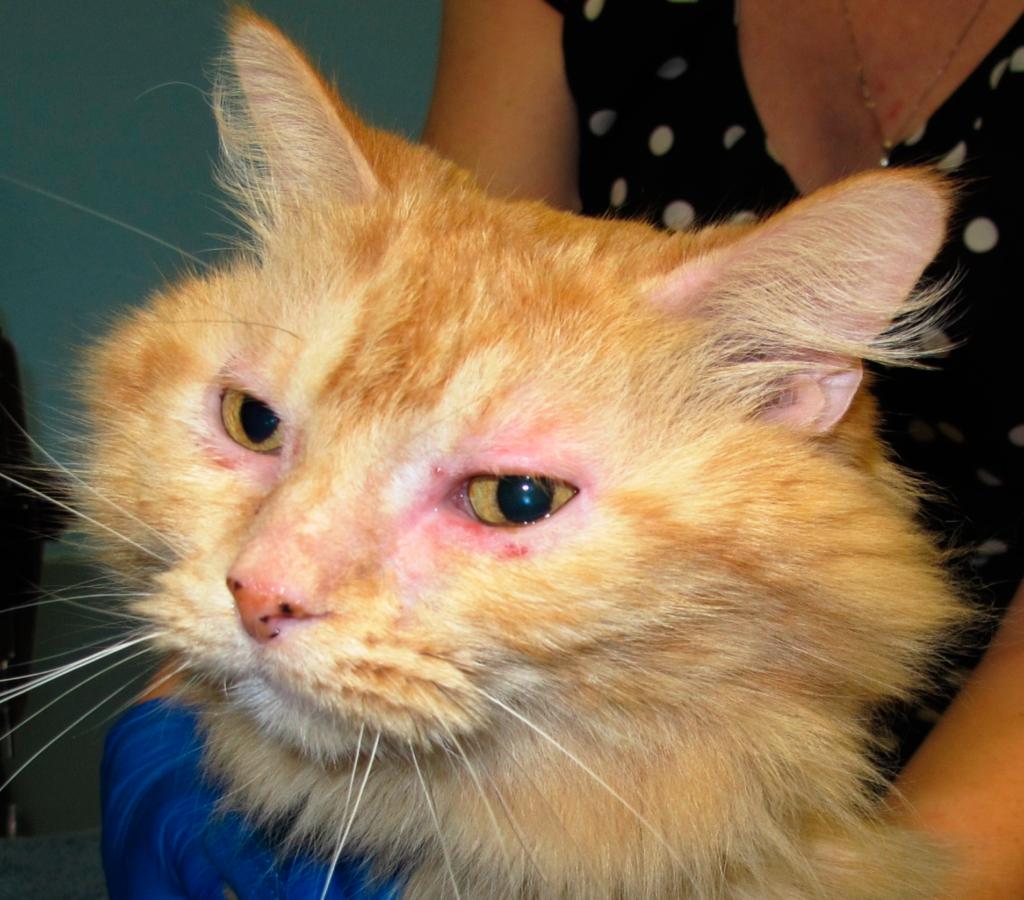Конъюнктивит у кошек - довольно распространенное заболевание глаз