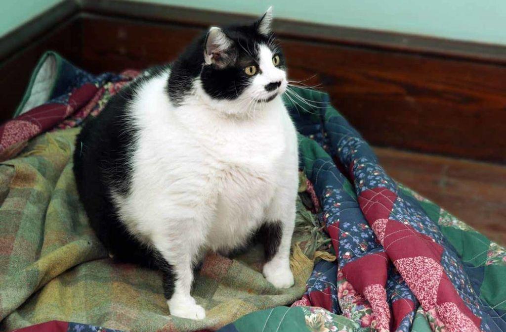 Если кот становится похожим на футбольный мяч - это говорит о проблемах с весом