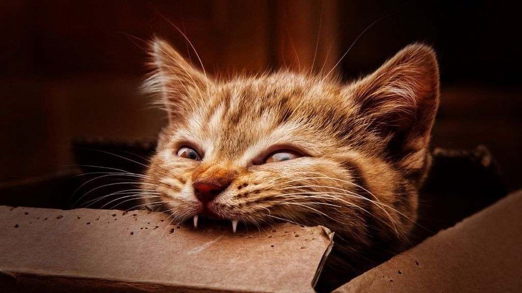 Базовый комплект зубов у котенка формируется к 3 месяцам