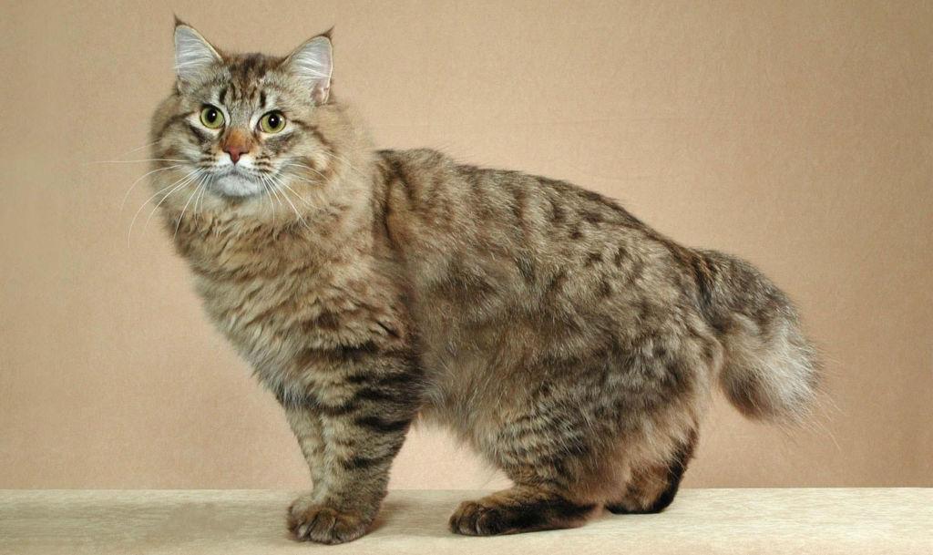 Подробное описание породы кошек американский бобтейл