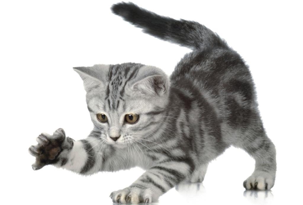 Особенную роль в развитии котенка играет период активного роста и набора веса