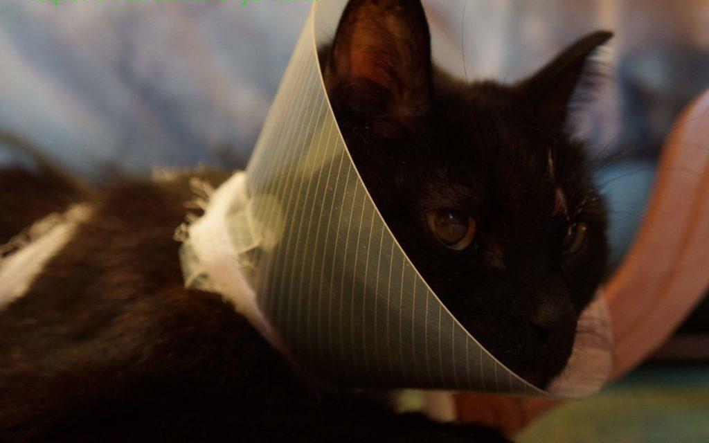 Перед началом стрижки на кошку одевают ветеринарный воротник