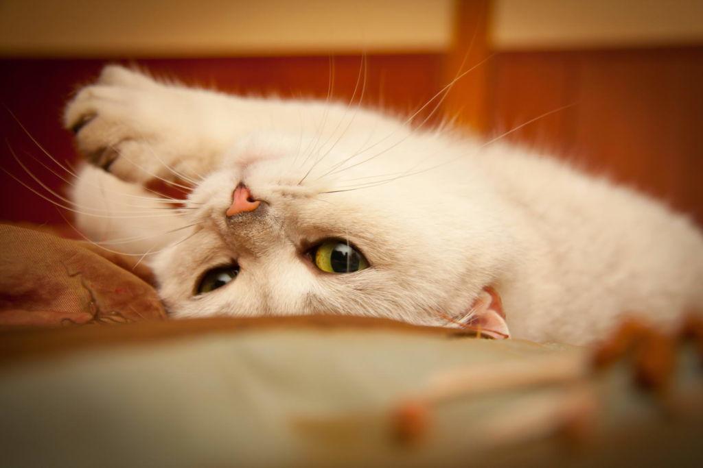 В среднем течка у кошки длится 5-9 дней