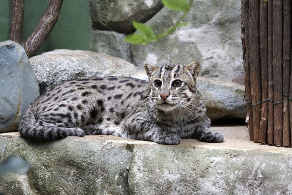 Кошка-рыболов, или крапчатая кошка, или виверровая кошка (лат. Prionailurus viverrinus)