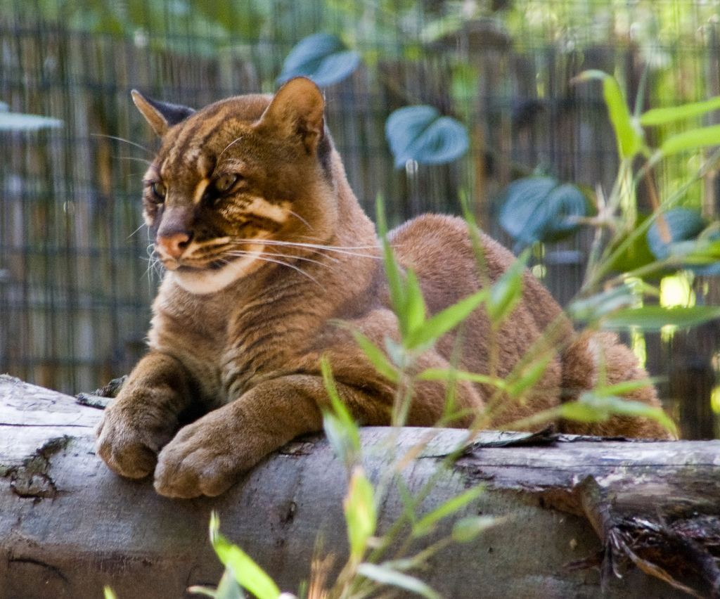 24 породы диких кошек и их ареал обитания