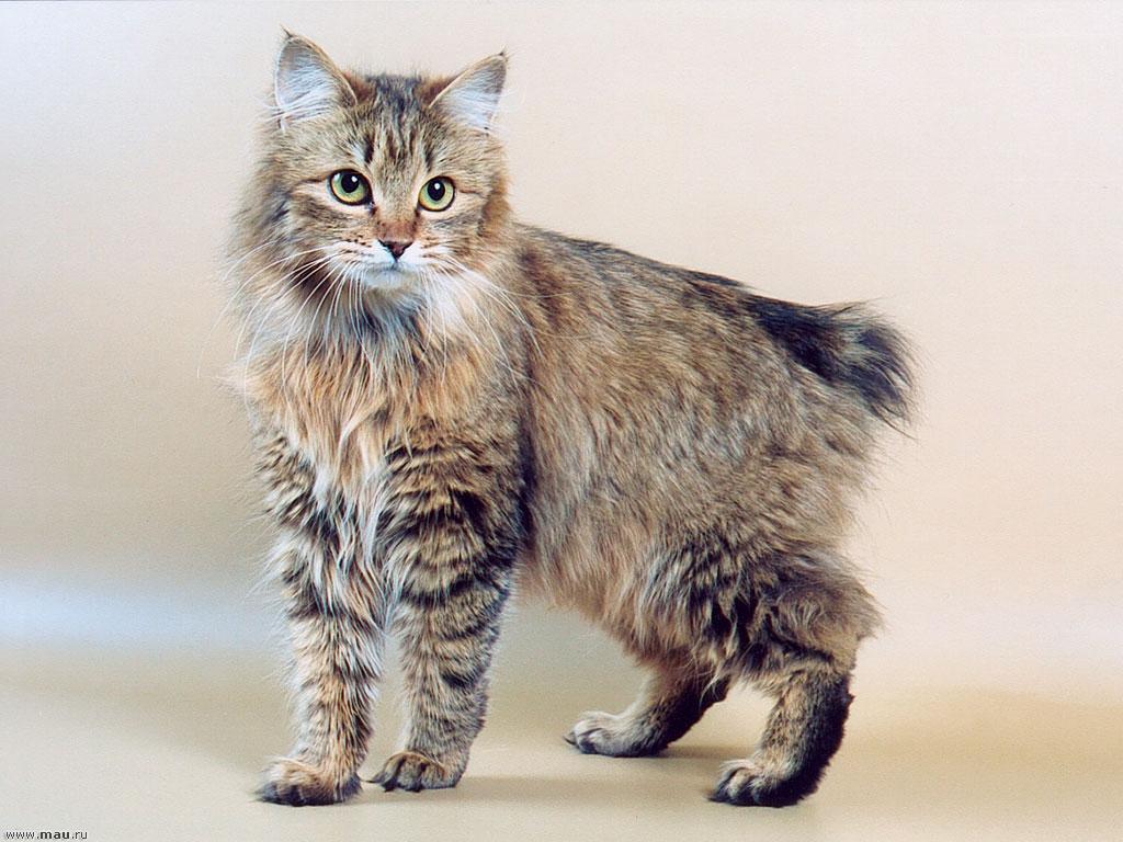 Описание породы и характеристика кошек курильский бобтейл