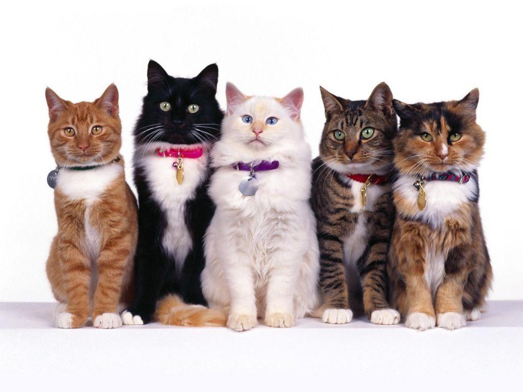 23 самые лучшие породы котов и кошек