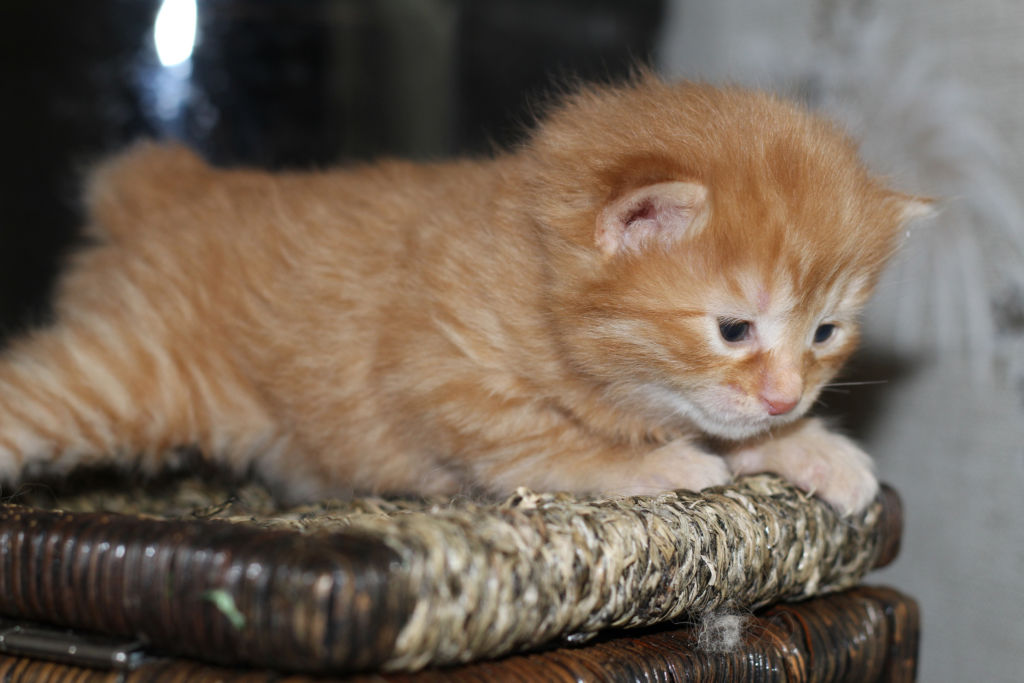 Стоимость котят американского бобтейла зависит от класса и пола