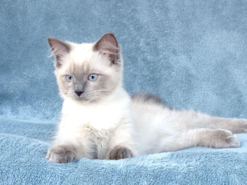 У котят окрас проявляется к концу первого года жизни