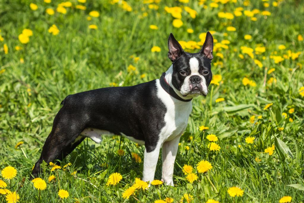 Подробное описание породы собак бостон терьер