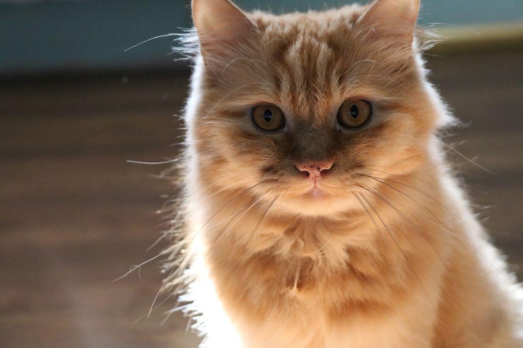 Повышенную температуру у кошек (до 40С) настоятельно не рекомендуют сбивать лекарствами