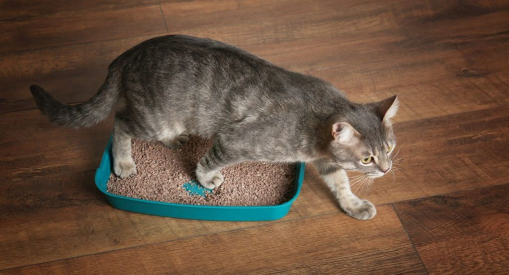 Причины, почему кот не может сходить в туалет по большому и как помочь