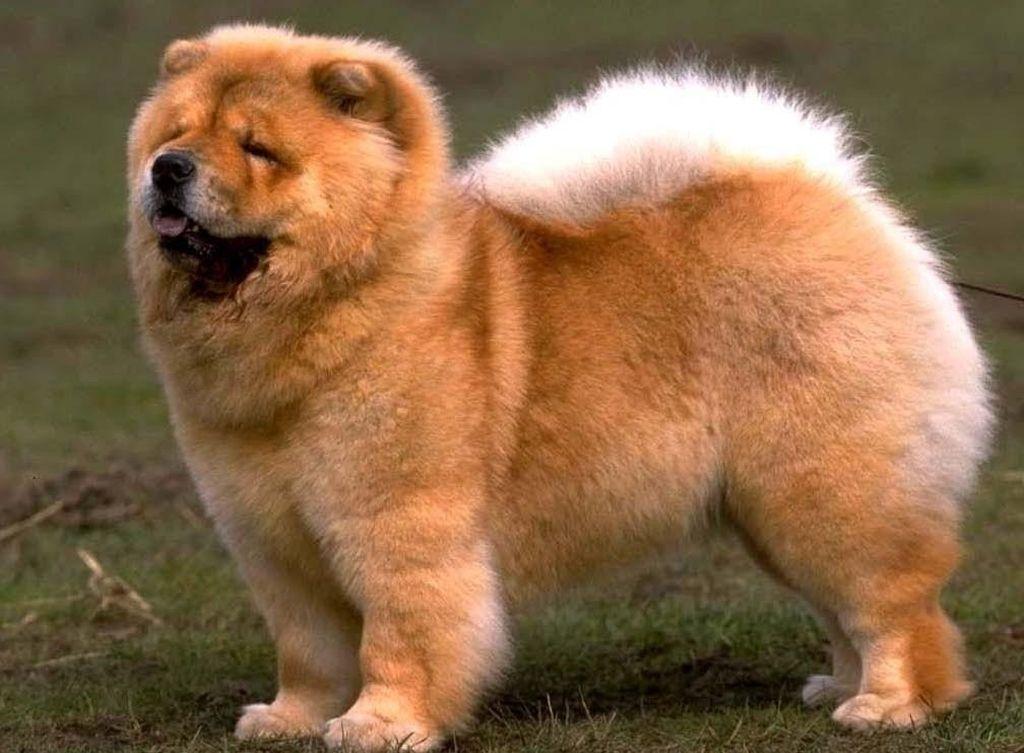 Отличительной особенность этих собак является густая и пушистая шерсть
