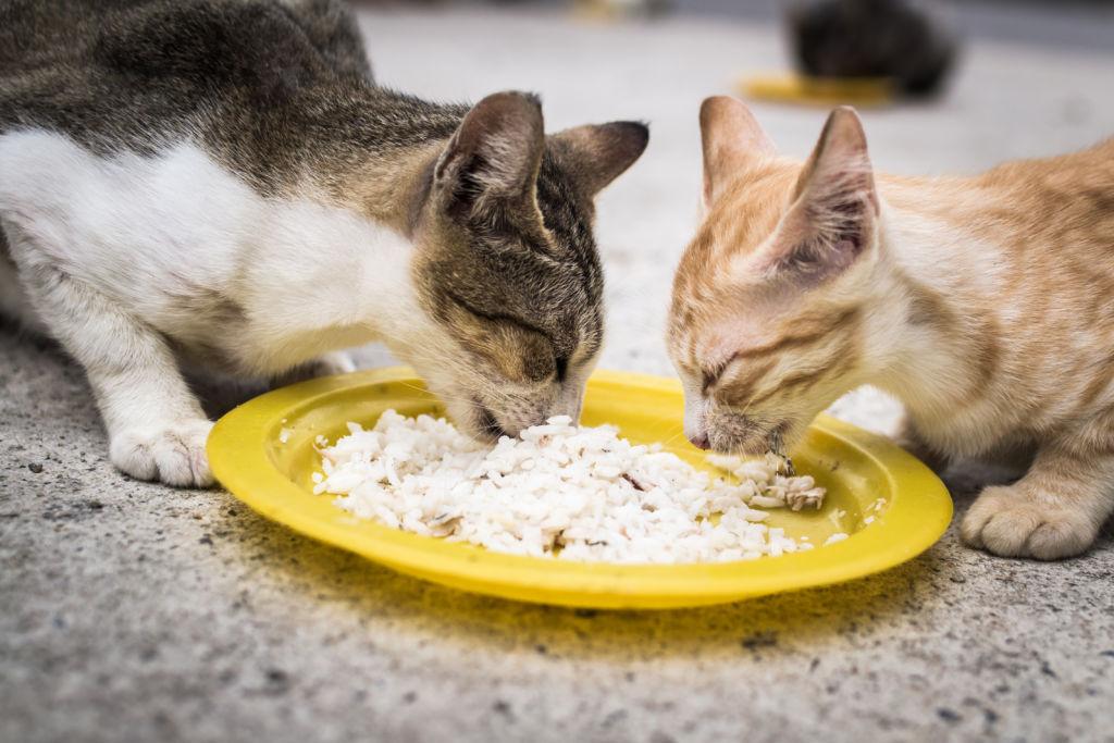 Коты едят кашу