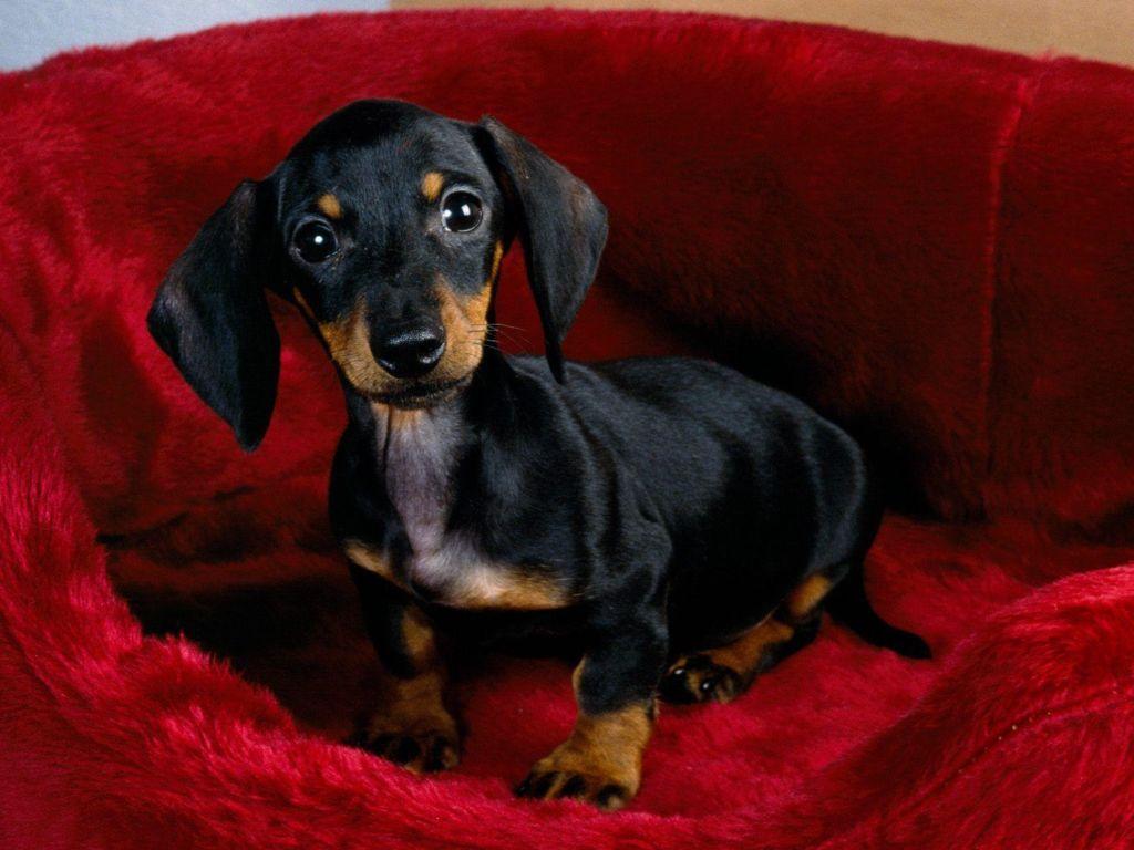 Подробное описание породы собак карликовая такса