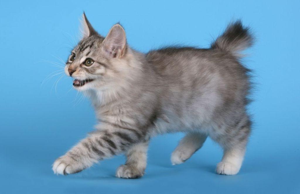 С детства котята отличаются хорошим и крепким здоровьем