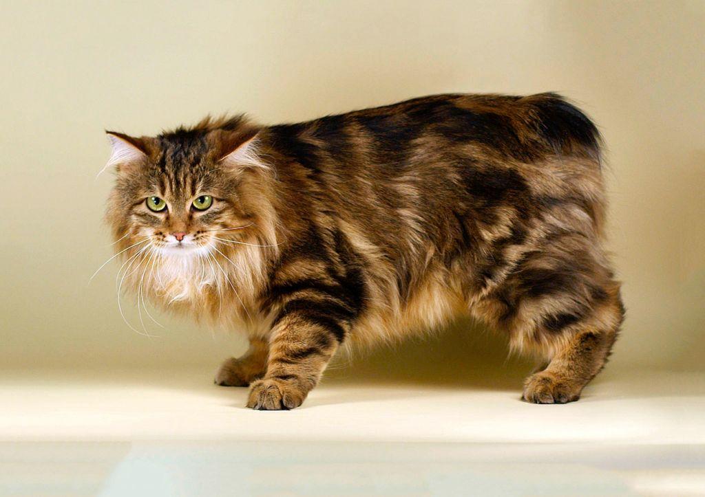 Кошка породы Карельский бобтейл