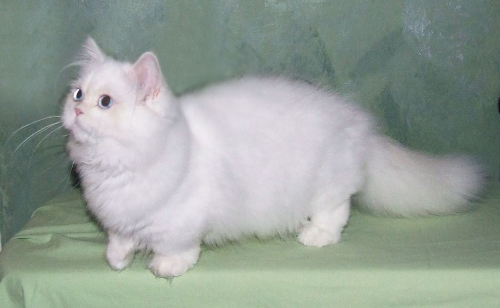 Коротколапая кошка Наполеон