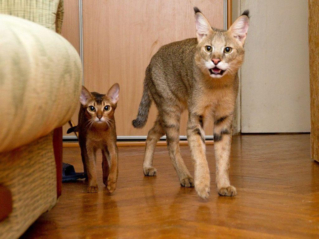 Кошка и котенок породы Чаузи