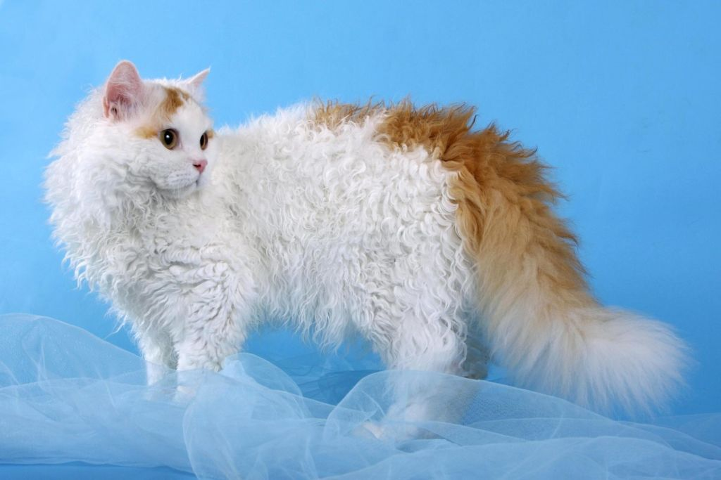 Кошка породы Богемский рекс