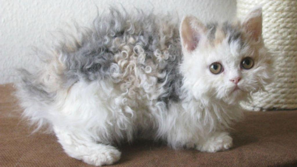 Кошка породы Лэмкин
