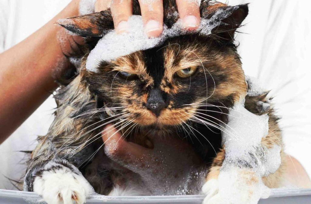Кошка может злиться и кусаться во время купания
