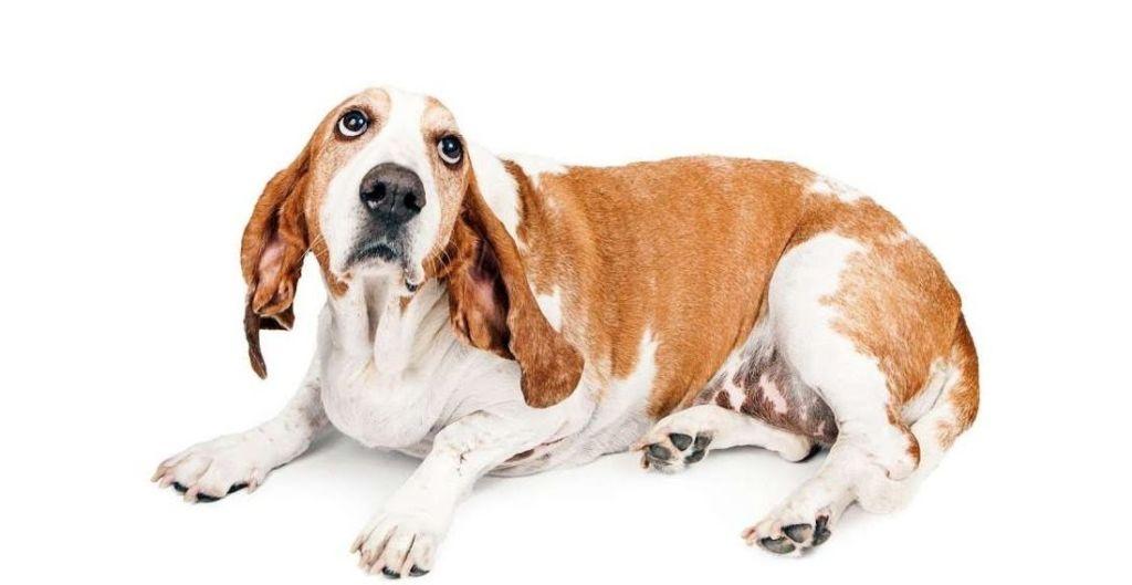 Пупочная грыжа у собаки история болезни