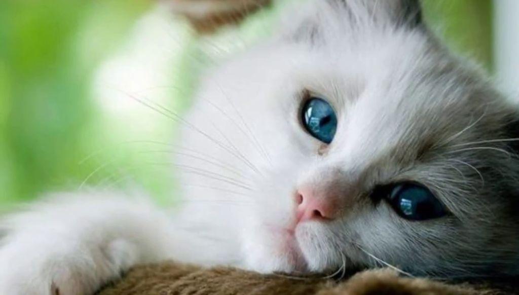 Мокрый и влажный нос у кошки позволяет ей определять направление ветра, чтобы скрыть свой же запах от тех, на кого планируется охота