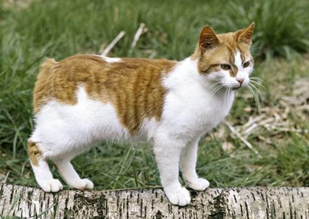 Мэнский кот