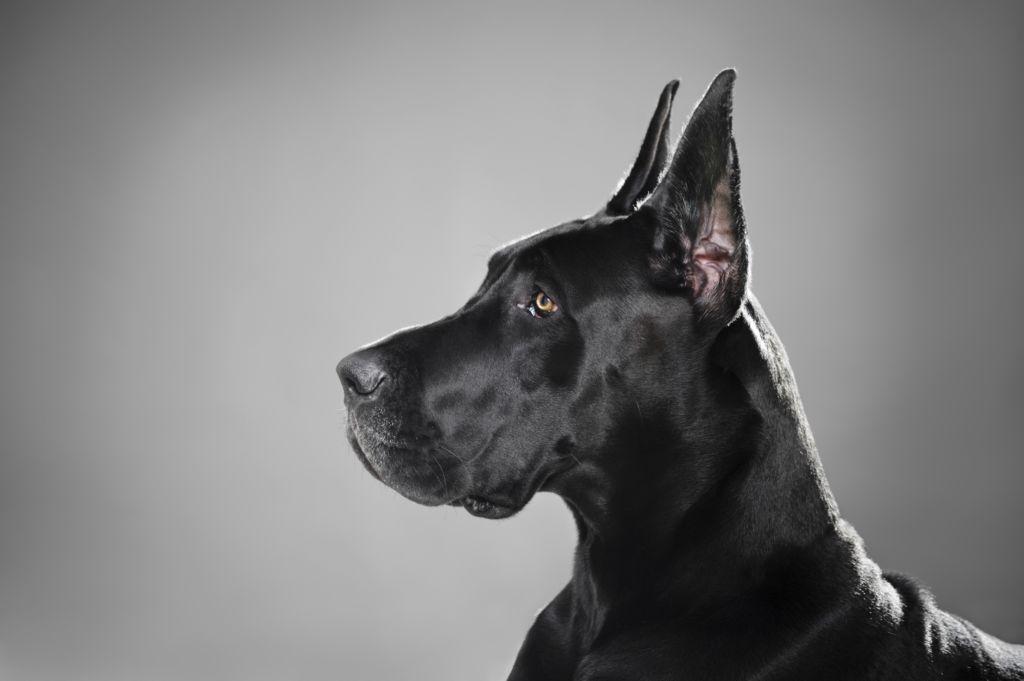 Характеристика и описание породы собак немецкий дог