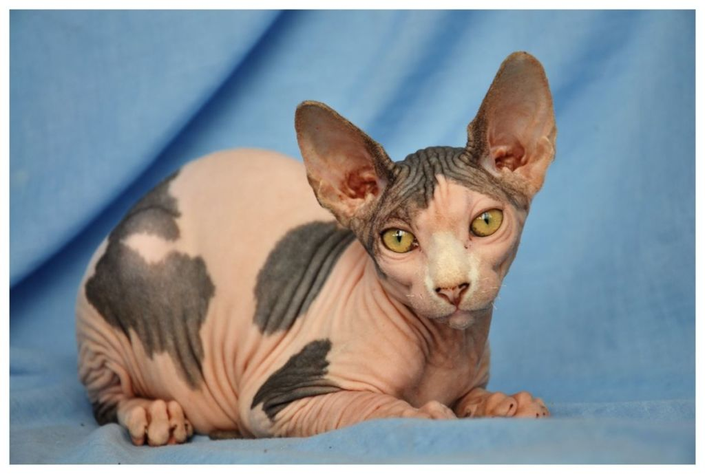 Порода кошек Бамбино