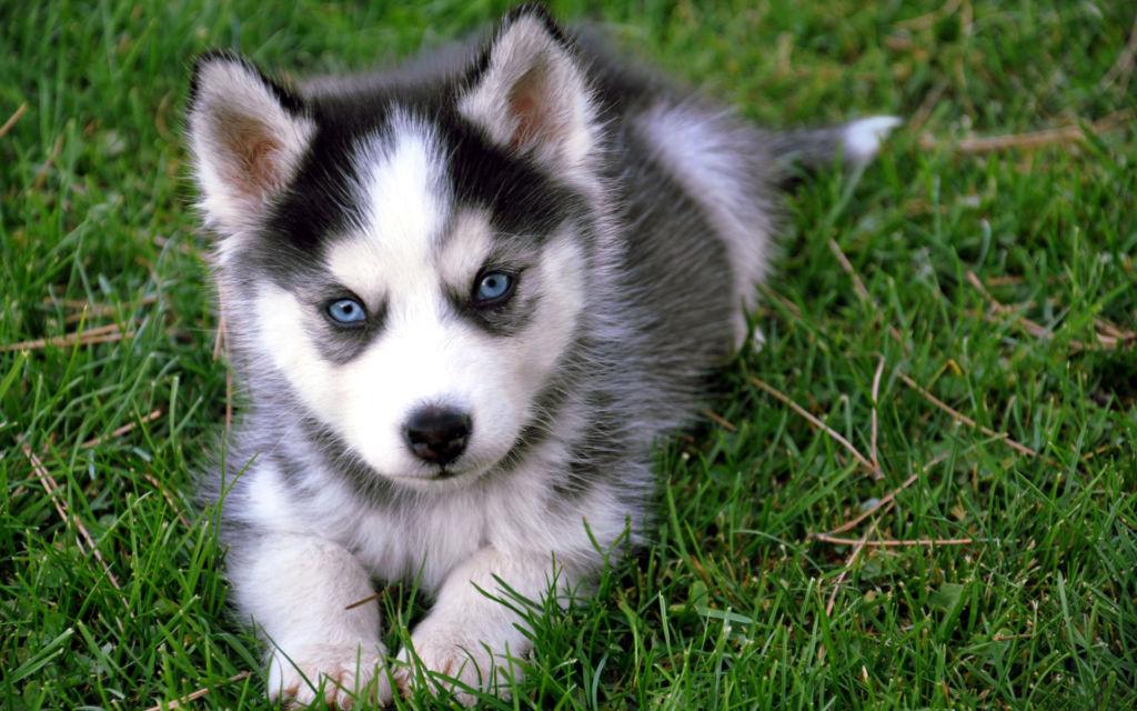 Стоимость щенка сибирского хаски