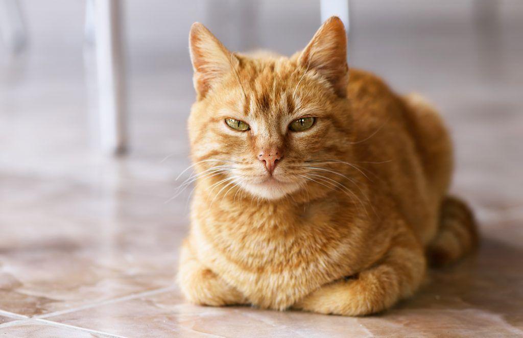 11 самых популярных пород рыжих котов