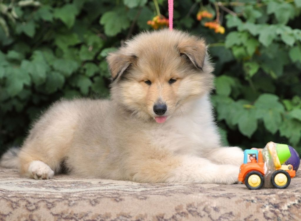 В настоящее время собак этой породы в России не часто встретишь