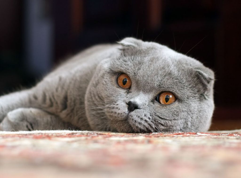 Каким кормом можно кормить шотландских вислоухих котят