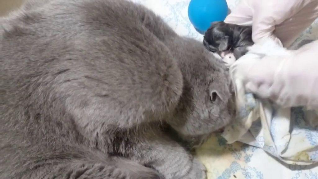 Опытные и уже рожавшие кошки редко нуждаются в помощи, а вот молодым мамочкам необходимо помочь