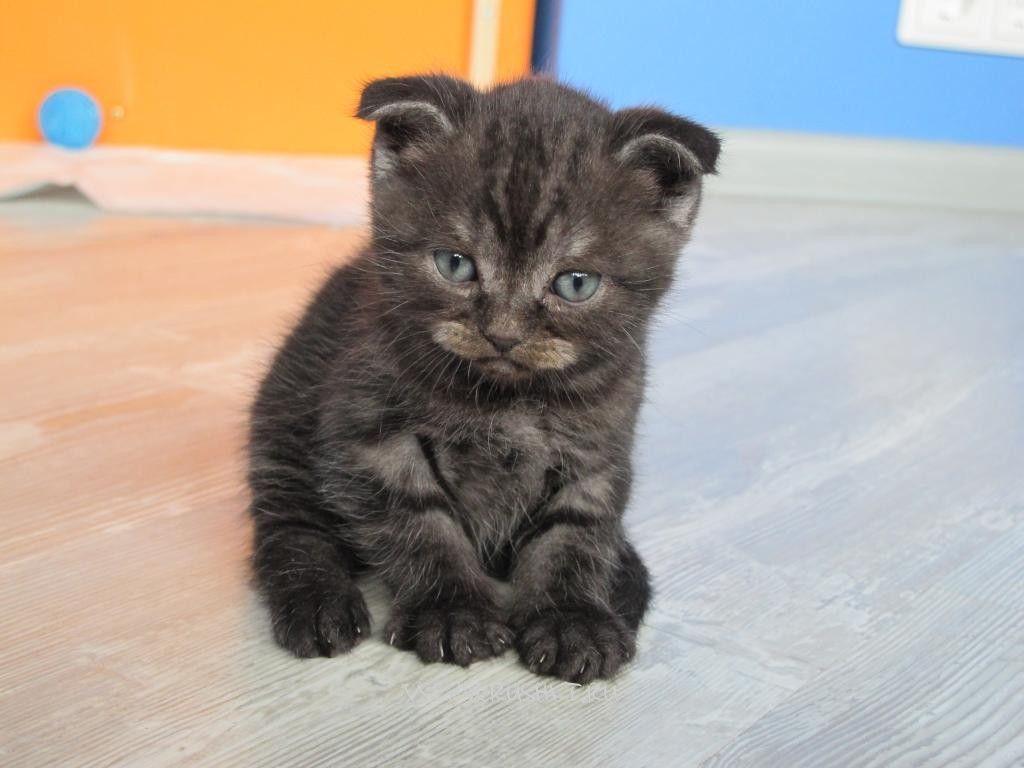 Шотландских котят нужно кормить согласно возрасту, постепенно увеличивая порции
