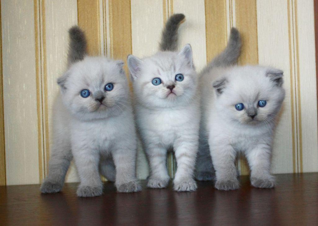 Шотландские котята окраса блю-пойнт