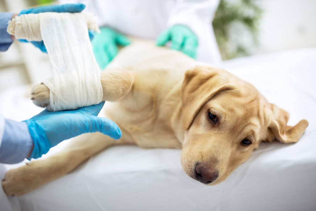 Хондролон при болезнях суставов у собак как наложить бинт при растяжении плечевого сустава