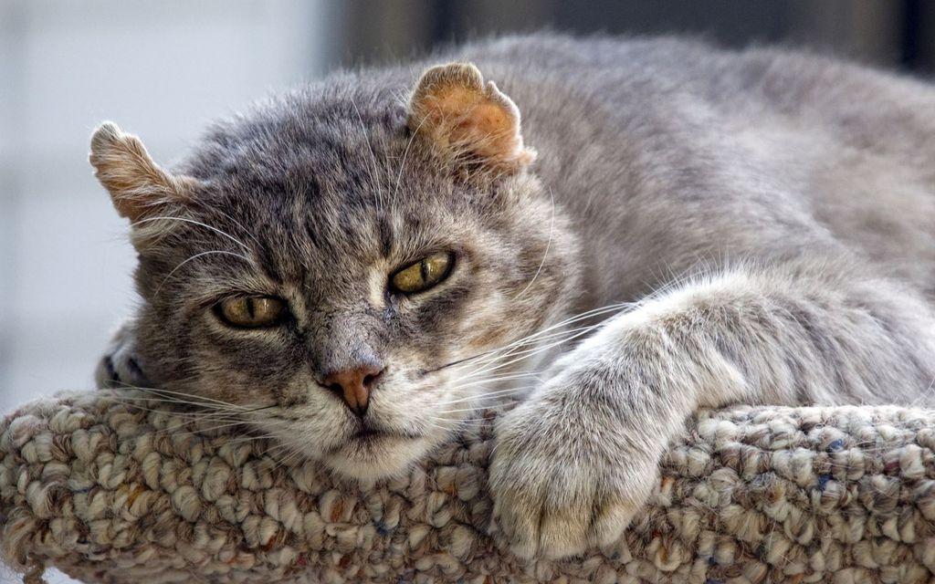 Старая кошка перед смертью становится вялой