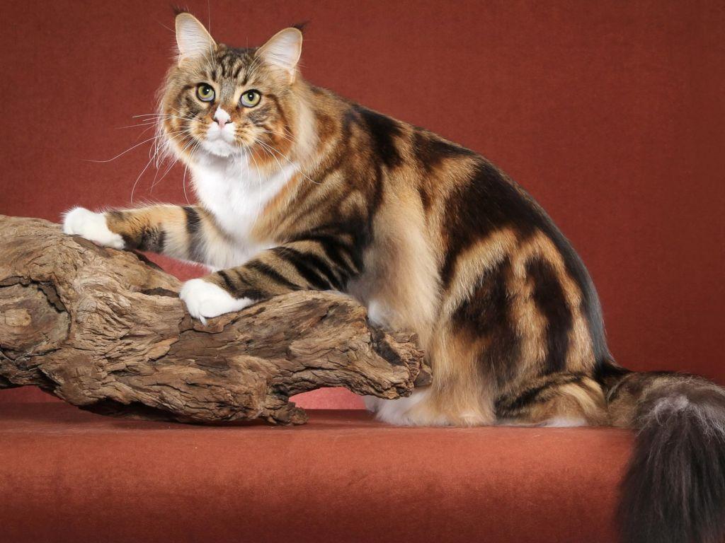 Существуют три базовых окраса кошки, остальные цвета - это смешение генов