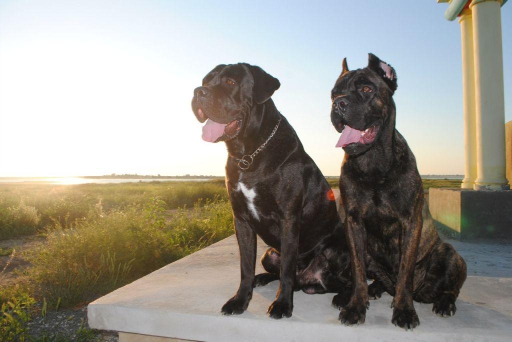 Подробное описание и характеристика породы собак кане корсо