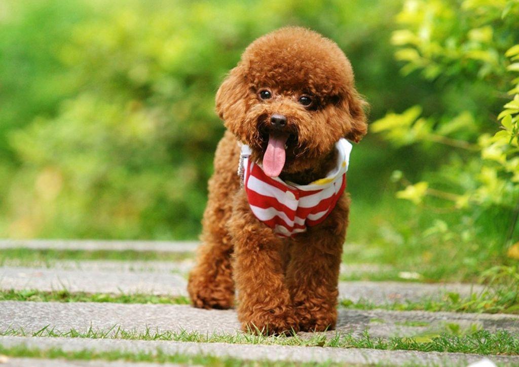 Подробное описание и характеристика породы собак той пудель (карликовый пудель)