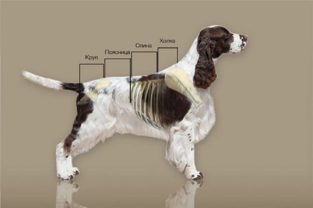 Где находится холка у собаки и как измерить