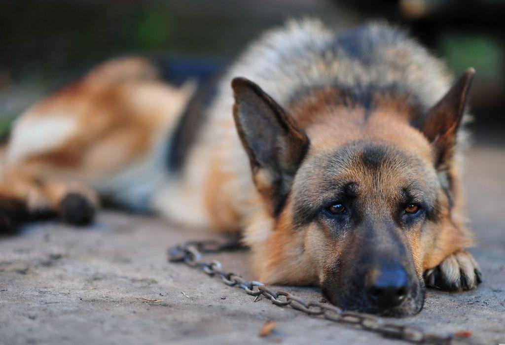 Как передается бешенство от собак к человеку