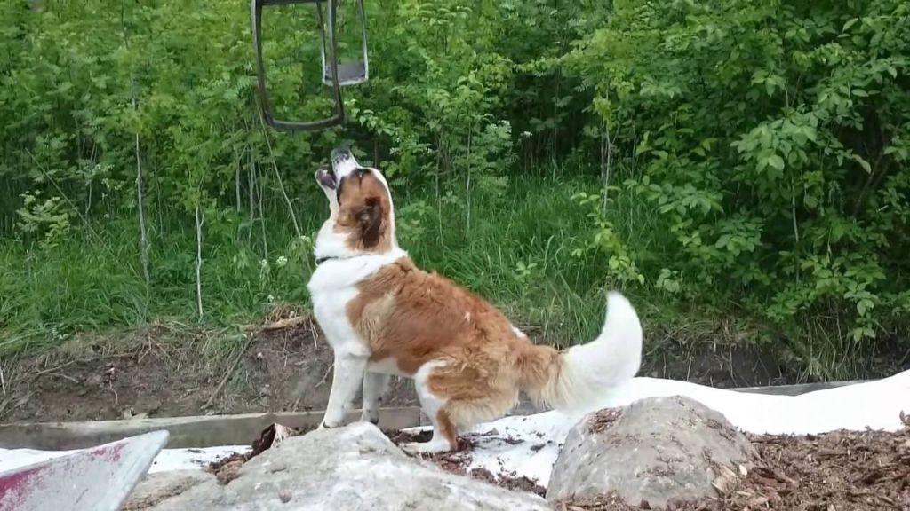 Московскую сторожевую нужно заводить опытным собаководам